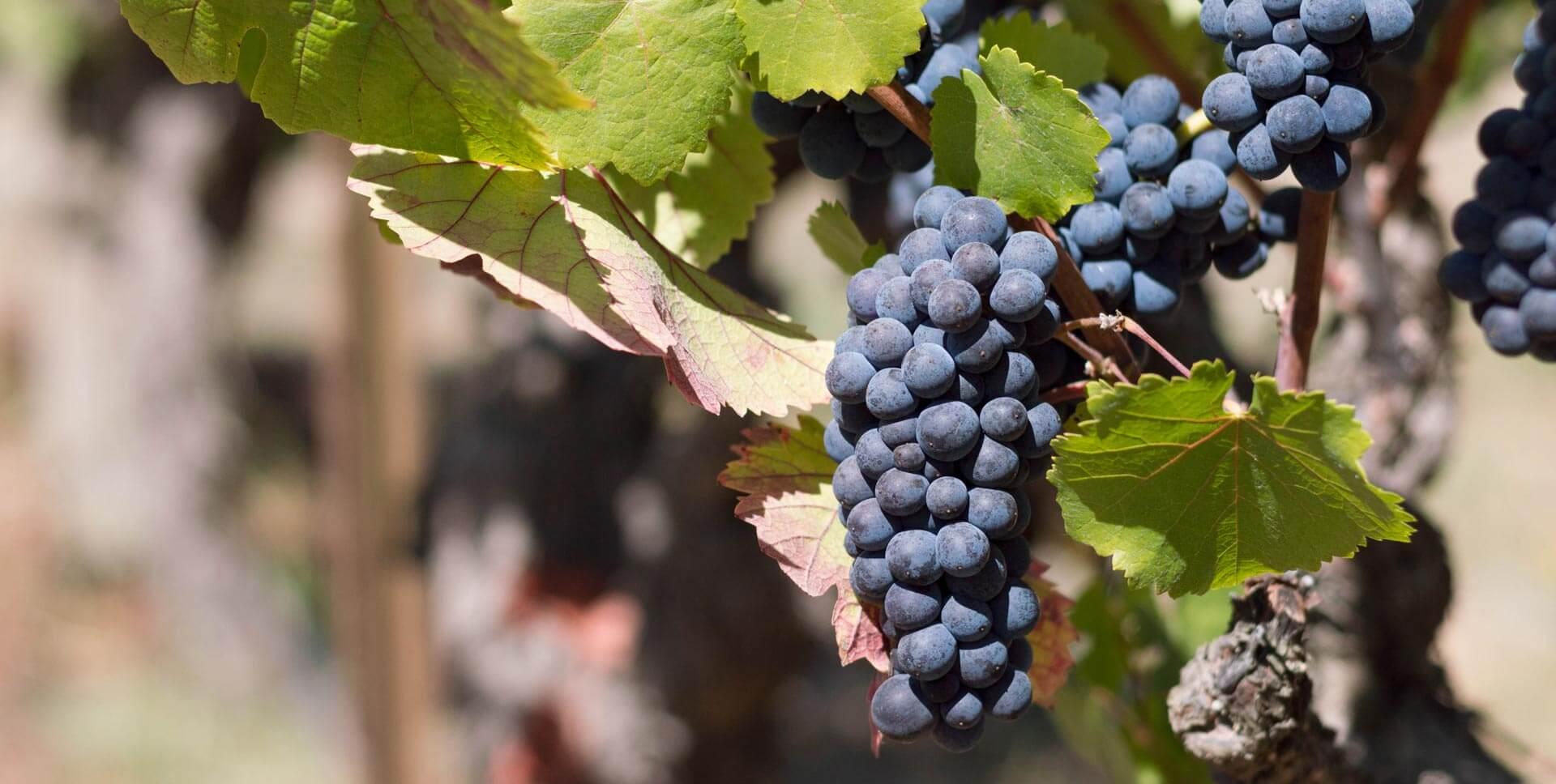 Resveratrol, Antioxidante ¿para qué sirve? Magnotun 7s Antioxidante, Magnotun7s